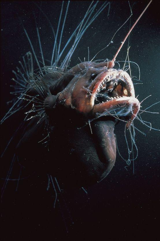 Anglerfisch Http De Wikipedia Org Wiki Anglerfische Ocean Creatures Ocean Animals Sea Creatures