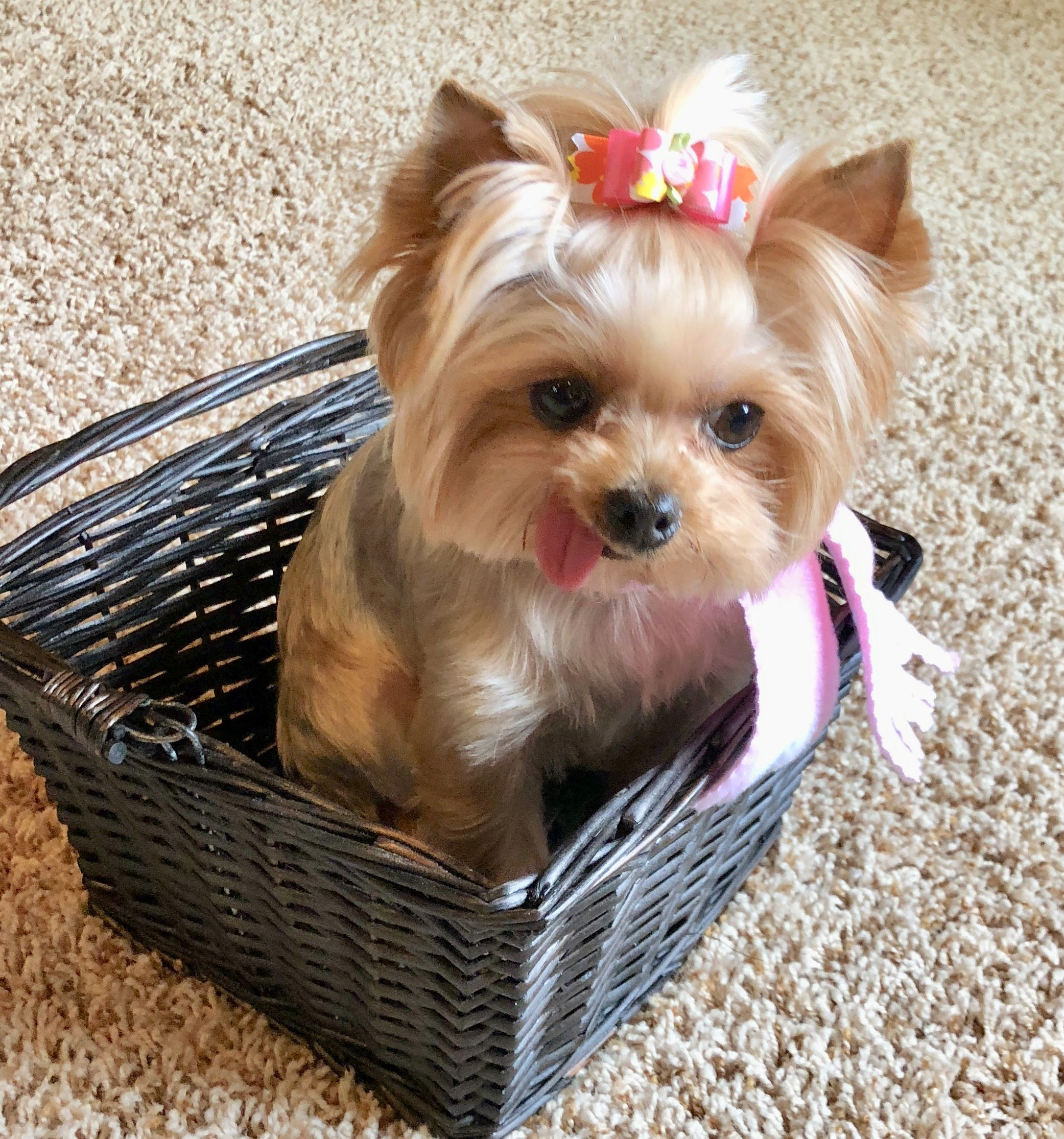 Basket Full Of Yorkie Zoe Yorkshire Terrier Pink Scarf Yorkshireterrier Yorkshire Terrier Puppies Yorkshire Terrier Yorkie Puppy