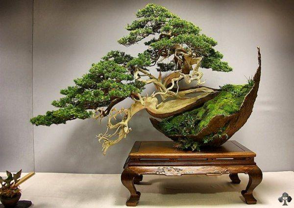 Juniper Bonsai tree by Luis Vila