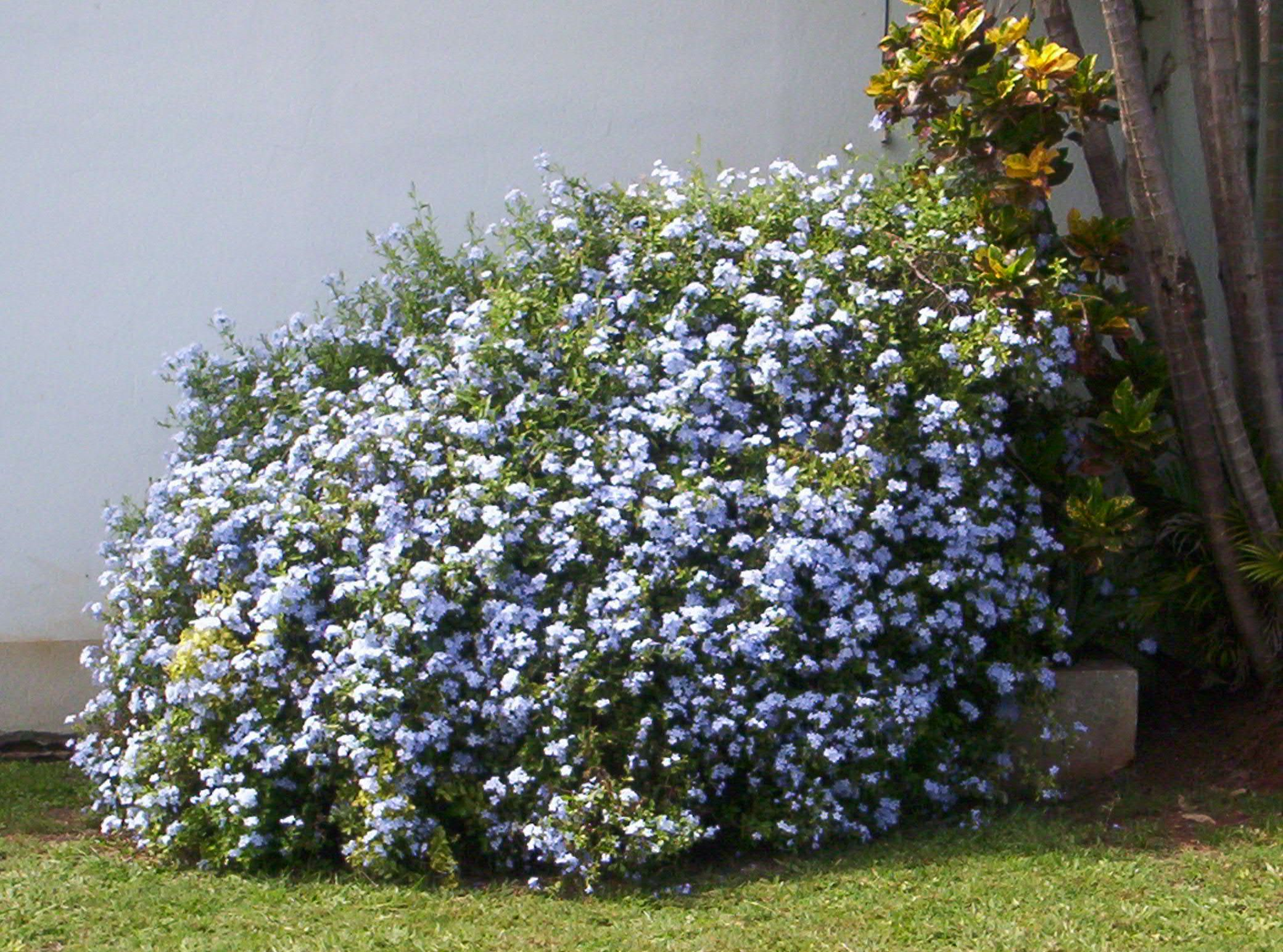 Plumbago capensis arbustos ornamentales fotos propias for Arbustos ornamentales