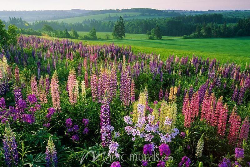 Lupine Flowers Prince edward island, Field wallpaper