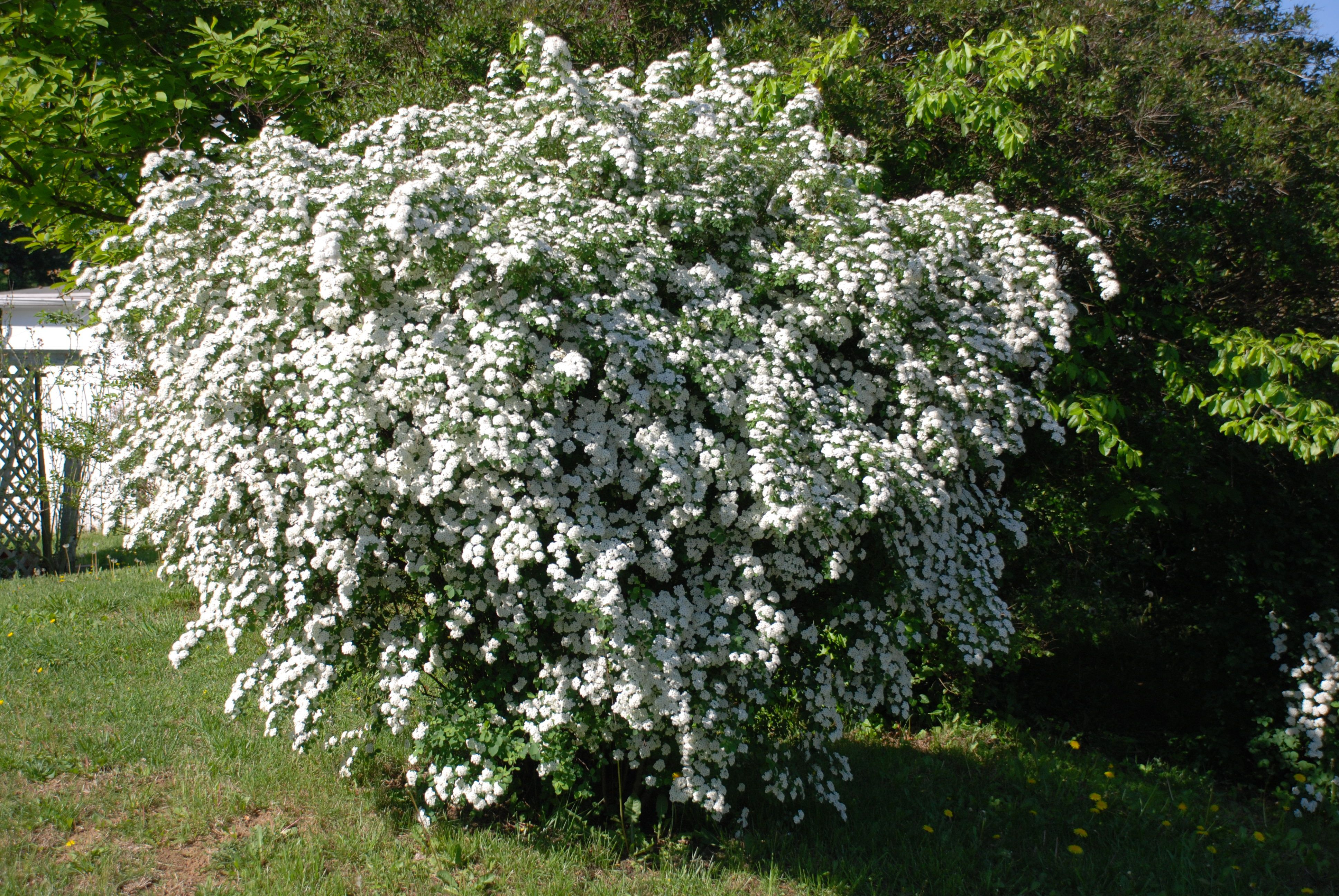 Wither Rod Viburnum Landscaping shrubs, Shrubs, Plants
