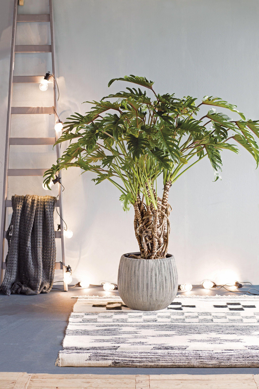 Een mooie grote plant in de woonkamer mag niet ontbreken ...
