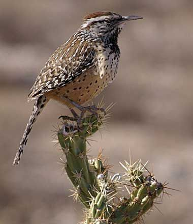the cactus wren heleodytes brunneicapillus couesi was designated the official state bird of arizona in cactus wrens are native to the arid southwest