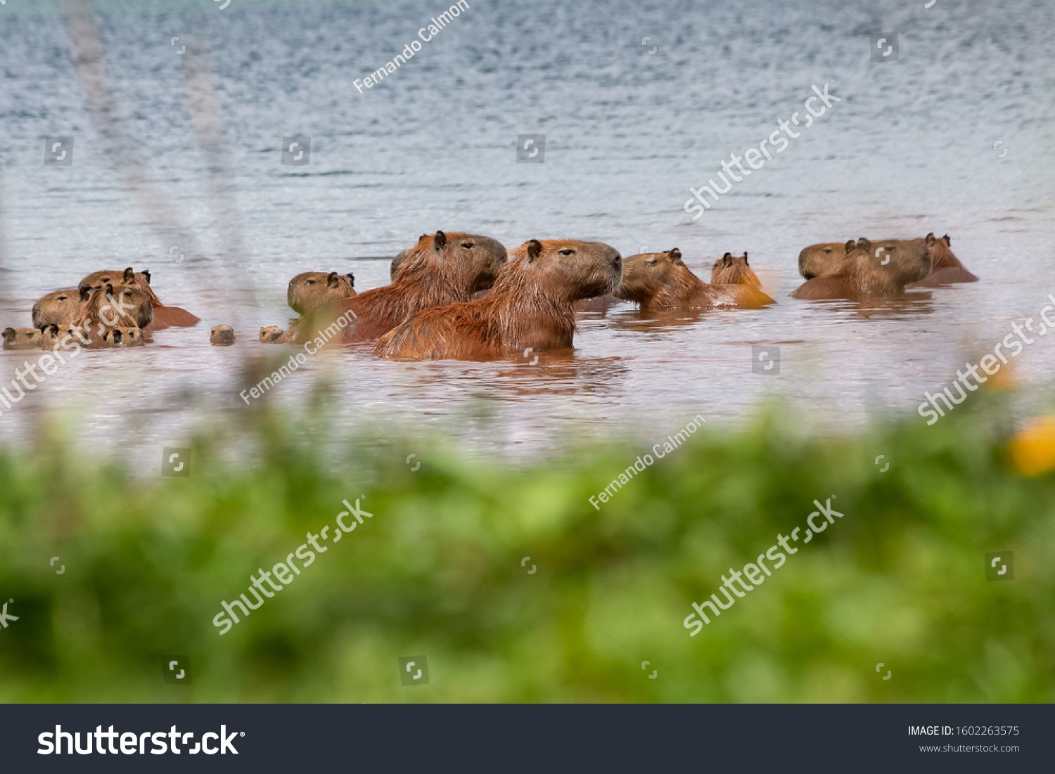 A large family of capybaras gathered inside Lake Parano¨¢ enjoying a sunbath. The capybara is the largest rodent in the world. Species Hydrochoerus hydrochaeris. Animal life. Wild animal. #Ad , #AD, #enjoying#Parano#capybara#sunbath