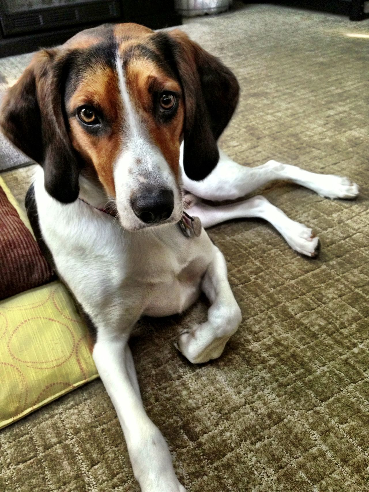This Is Boomer My Two Year Old Rescue He Is A Treeing Walker