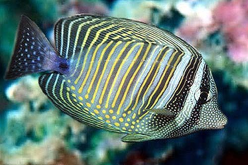 Http New Aqua Marines Com Upload Sailfin Tang 1343984643 Jpg Marine Fish Tang Fish Sea Fish