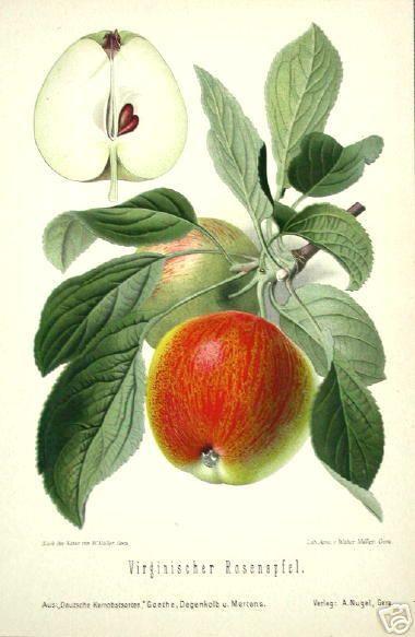 apples | Botanical illustration, Botanical prints, Vintage ...