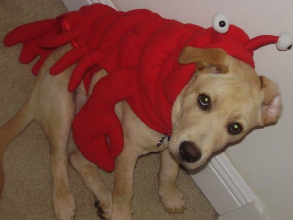 Halloween Lobster Puppy Dog Costume 3 Dog Costumes Dogs