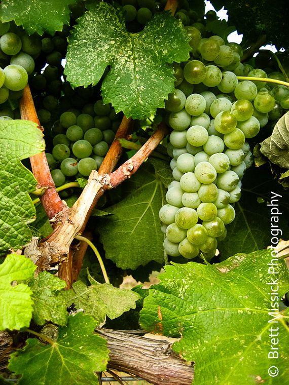 Vineyard Art Grape Kitchen Decor Wine Art Wine Lover/'s Gift Sonoma Vineyard Wall Decor Napa Valley