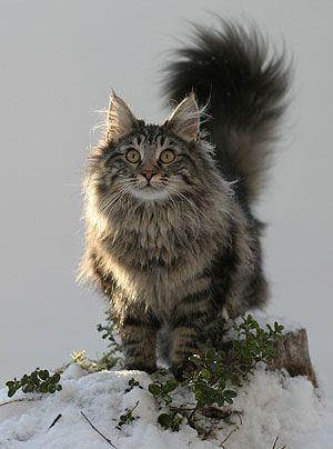 Norjalainen Metsakissa Google Haku Pretty Cats Fluffy Cat Breeds Norwegian Forest Cat