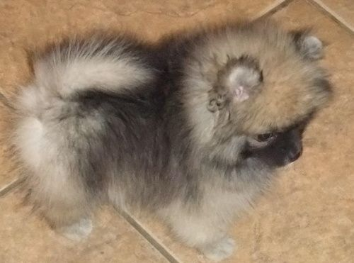 Cream Sable Female Puppy Available Now Puppies Cute Puppies