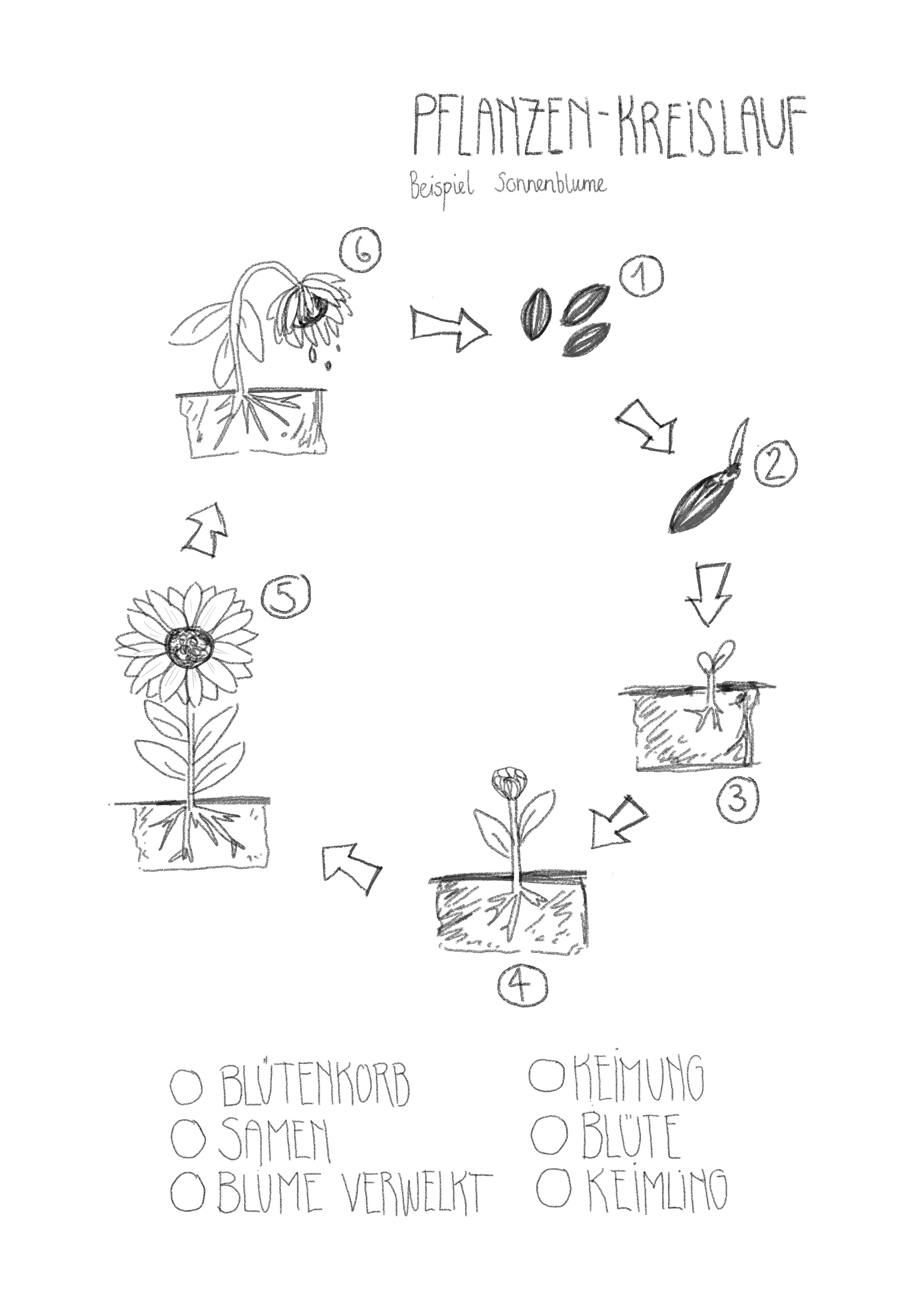 Lebenslauf einer Sonnenblume. Arbeitsblatt 200./20. Klasse ...