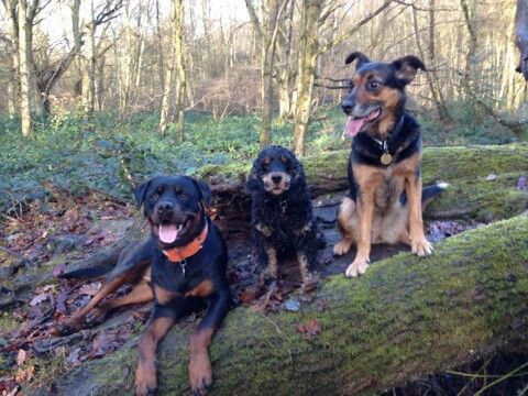 New Zealand Huntaway Lulu With Her Friend The Rottweiler Huxley And A Gooseberry Rottweiler Best Dogs Animals