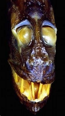Peixe ogre  https://biogalera.wordpress.com/2010/05/20/os-peixes-mais-bizarros-do-mundo/