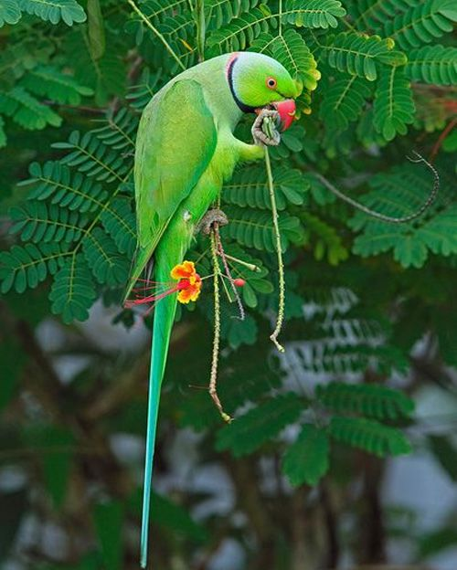Green Ringneck Parrot Found In Pakistan Styles Time Periquitos Passaros Coloridos Aves Exoticas