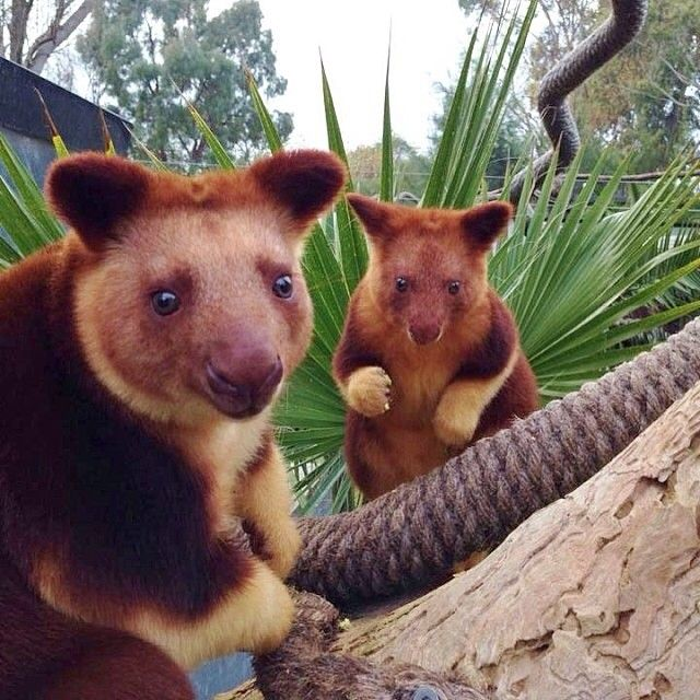The super cute tree kangaroos from the National Zoo and