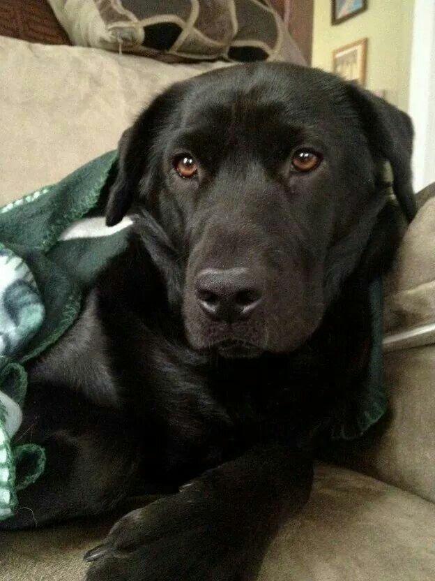 Beautiful Black Lab Best Dog