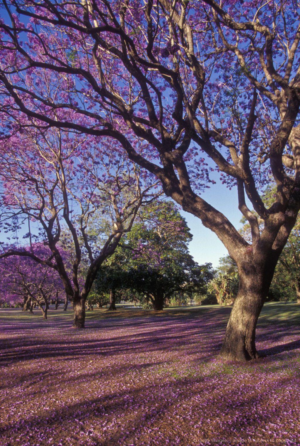 Jacaranda Tree Brisbane Queensland Australia Jacaranda Tree Beautiful Tree Nature Photography