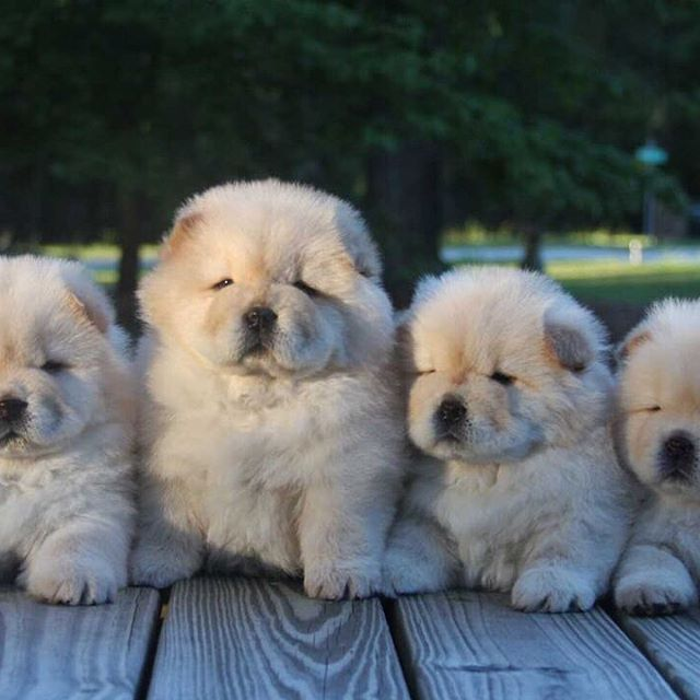 Funny Teacup Chow Chow Puppies With Brown Color Chow Chow Puppy