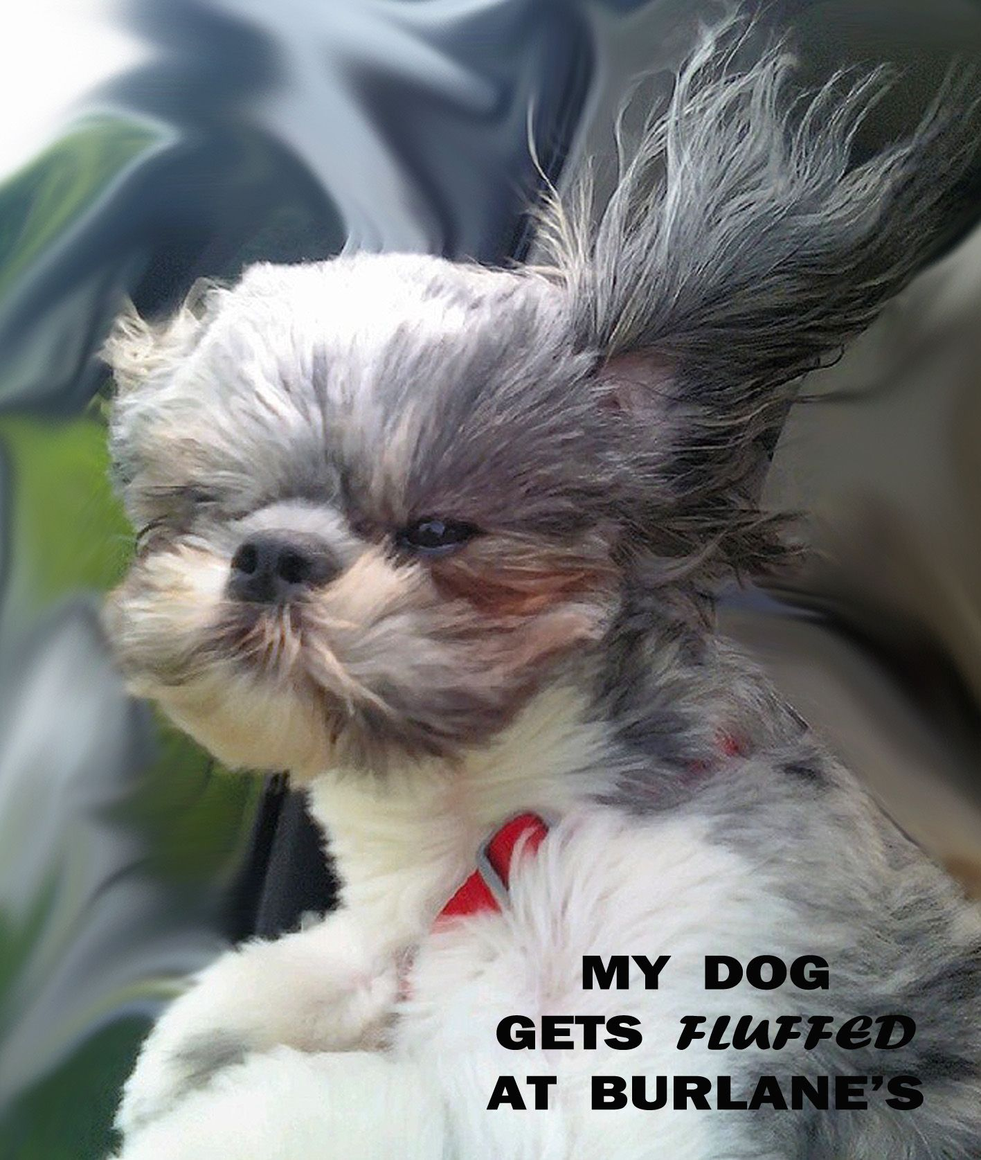 Bichon Dog Grooming Burlane Cat u Dog Boutique Dog Grooming Shih