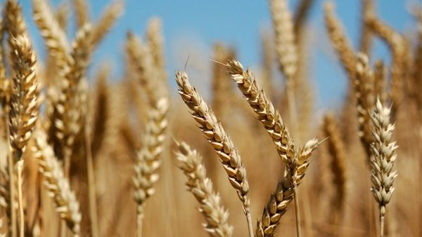 أنواع و أصناف القمح في مصر | انواع بذور و تقاوي القمح في مصر  حدد البرنامج القومي للقمح بمعهد بحوث المحاصيل الحقلية أصناف القمح ومناطق زراعتها على النحو التالي :  انواع بذور قمح  سخا 93 >> شمال الدلتا - وسط و جنوب الدلتا - مصر العليا  سخا 94 >> شمال الدلتا - وسط و جنوب الدلتا  جيزة 168 >> شمال الدلتا - وسط و جنوب الدلتا - مصر الوسطى - مصر العليا - الأراضي الجديدة - منطقة النوبارية  جميزة 7 >> منطقة النوبارية - الراضي الجديدة  جميزة 9 >> شمال الدلتا - وسط و جنوب الدلتا  جميزة 10 >> وسط و جنوب…
