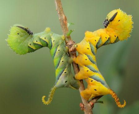 Caterpillar Reaction