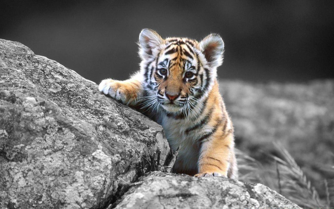 Bebe Tigre Baby Tiger Voyage Onirique En 2020 Bebe Tigre Tigreau Tigre