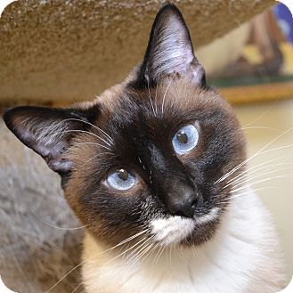 Special Needs Going Blind Siamese Cat For Adoption In Independence Missouri Sir Keller Cat Adoption Animals Pets