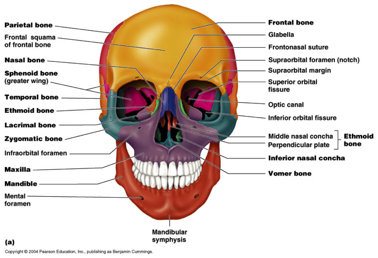 hight resolution of anatomy and physiology sphenoid bone cranial nerves skeletal system medical technology