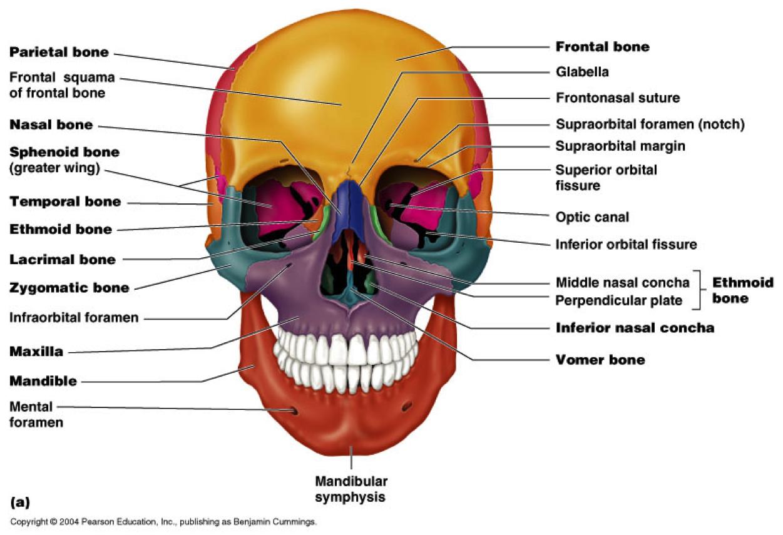 medium resolution of anatomy and physiology sphenoid bone cranial nerves skeletal system medical technology