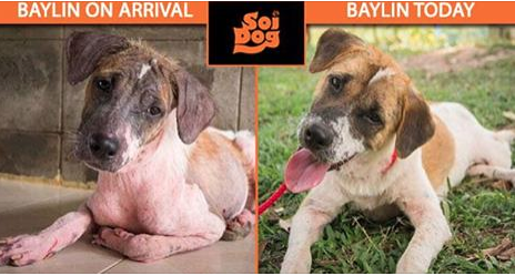 When Baylin arrived at our shelter, his appearance was testament to a lifetime of neglect on the streets. He was suffering with horrendous skin problems and struggling to use one of his legs.  Thanks to the members of our Emergency Response Team – people just like YOU - Baylin received the treatment he desperately needed. https://ert.soidog.org/?utm_source=facebook&utm_medium=FBO_L_recurringBaylin&utm_campaign=ert