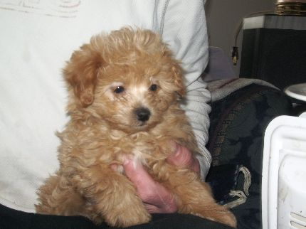 Pomeranian Poodle Pups Forever Home In Colorado Co Free