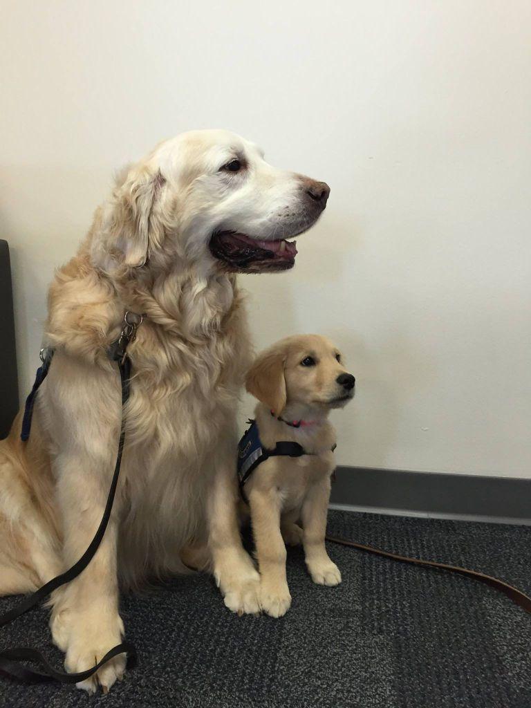 Prince Comfort Dog Sarah Comfort Dog Puppies Goldendoodle Dogs