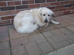 Adopt Ronin On Cocker Spaniel Dog Yellow Labrador Retriever Labrador Retriever Mix