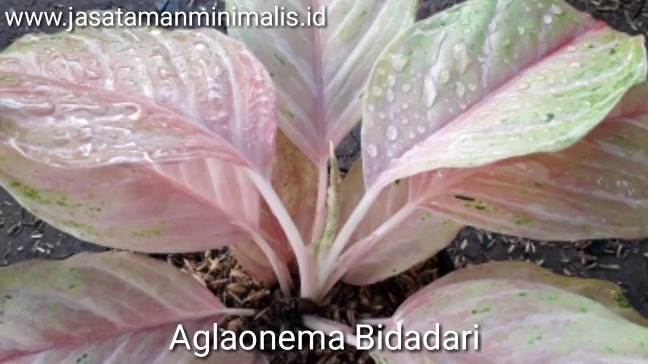 Gambar Terbaru Bunga Aglaonema Tanaman Aglaonema Aneka Jenis Tanaman Aglaonema Koleksi Terlaris Jenis Jenis Tanaman Aglaone Bunga Tanaman Hias Daun Tanaman