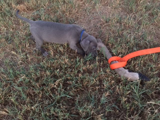 Tracking Dog Blue Lacy Puppy 5 Weeks Old Training To Track