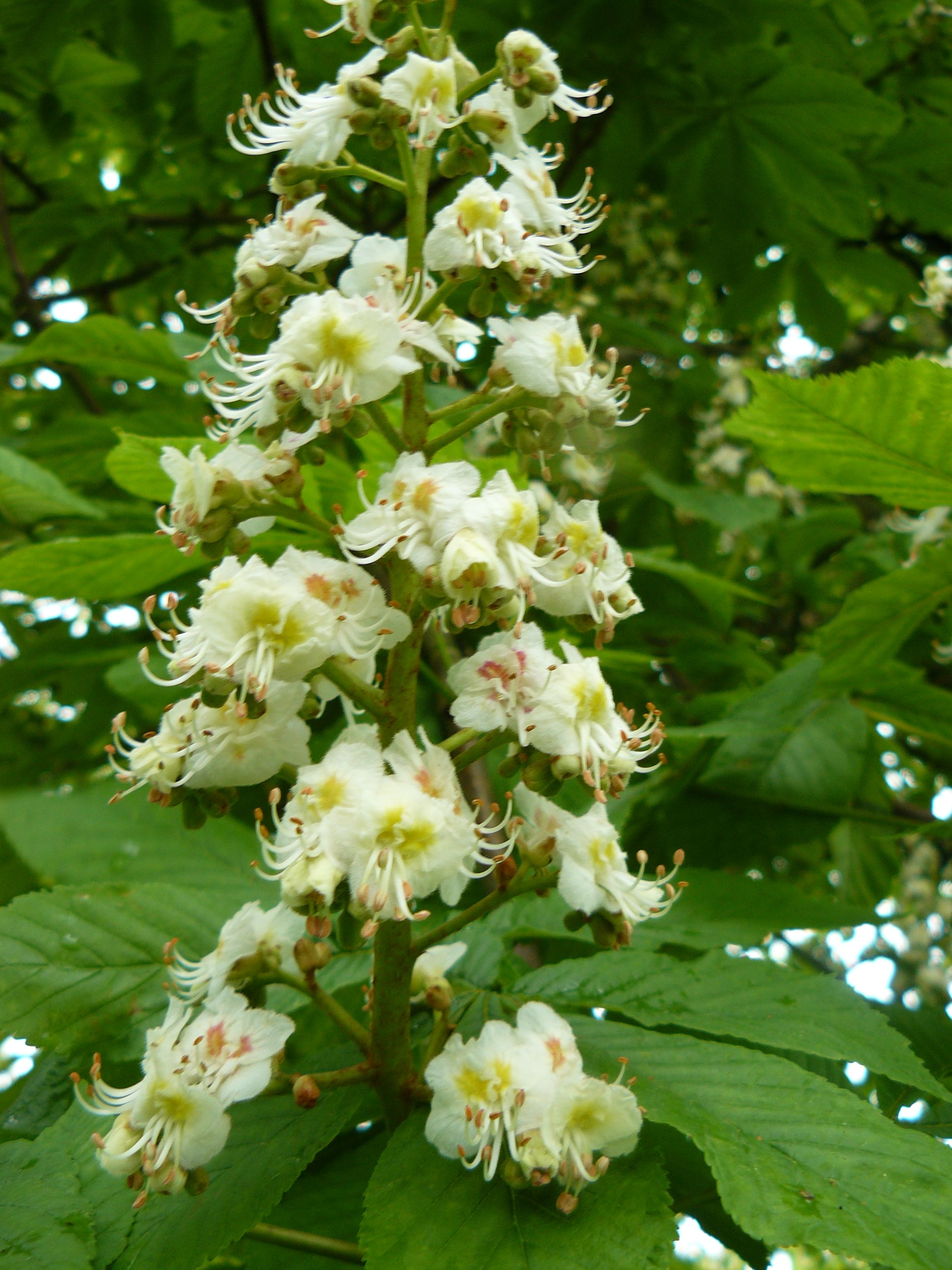 Bach flower white chestnut image collections flower decoration ideas stunning bach flower remedy white chestnut ideas wedding and best bach flower white chestnut ideas wedding mightylinksfo Image collections