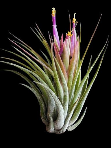 tillandsia kolbii ou ionantha scaposa fille de l 39 air qui. Black Bedroom Furniture Sets. Home Design Ideas