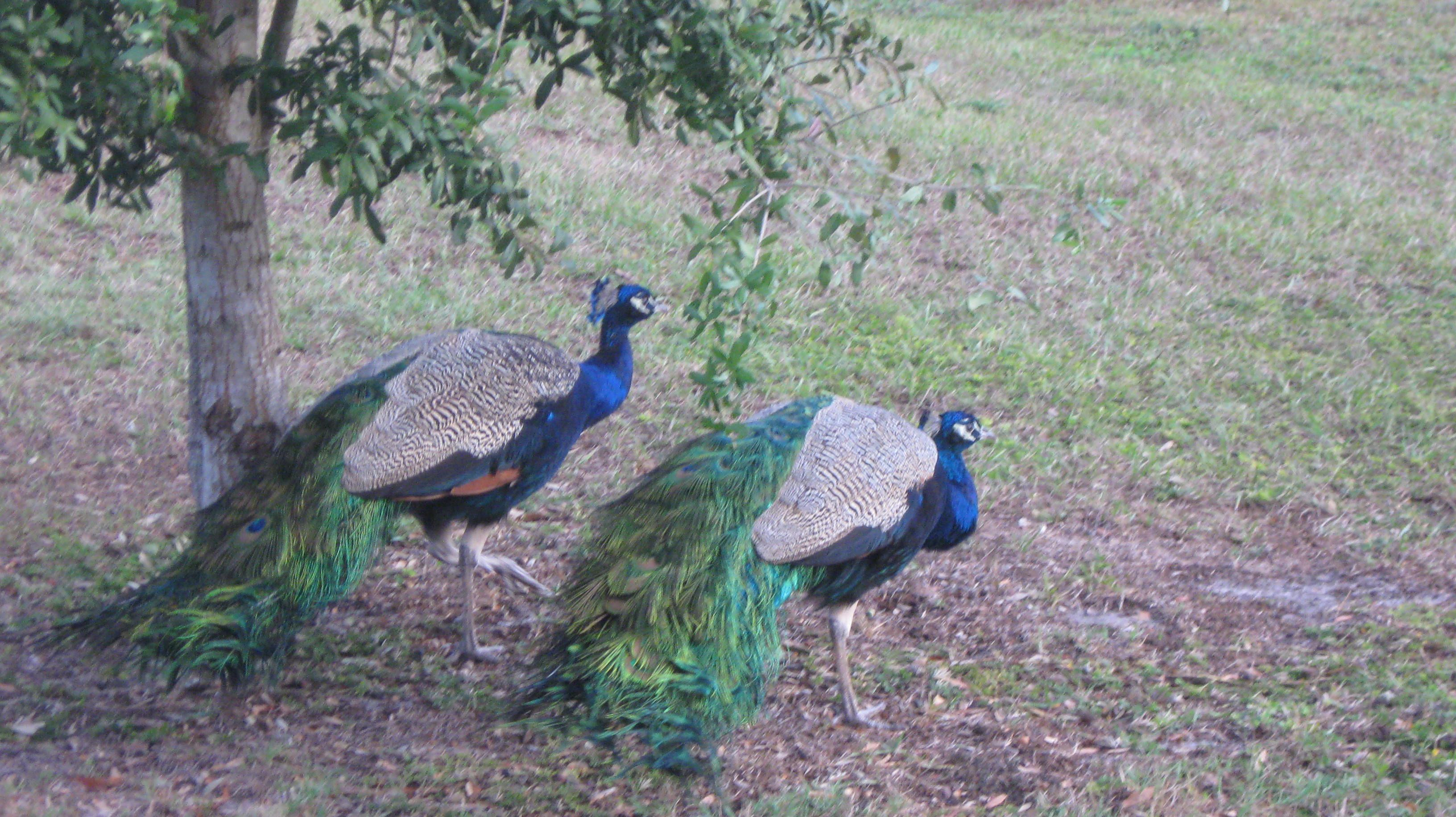 These Beautiful Peacocks are part of our neighborhood entertainment. By Iva Dawn Tepper