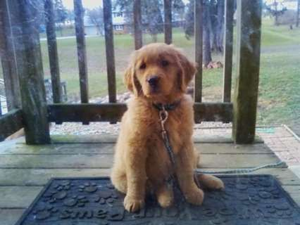 Hoobly Golden Retriever Puppies Goldenretrieverpuppieshoobly
