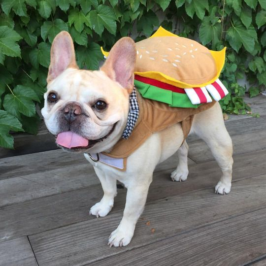 The Big Cheese French Bulldog In A Hamburger Costume The Daily