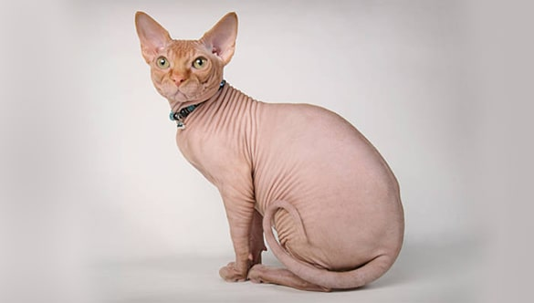 Why Sphynx Cats Cost So Much Sphynx cat cost, Sphynx cat