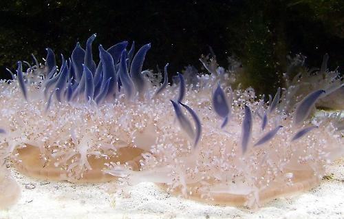 Upside down jellyfish • half jelly half sea anemone