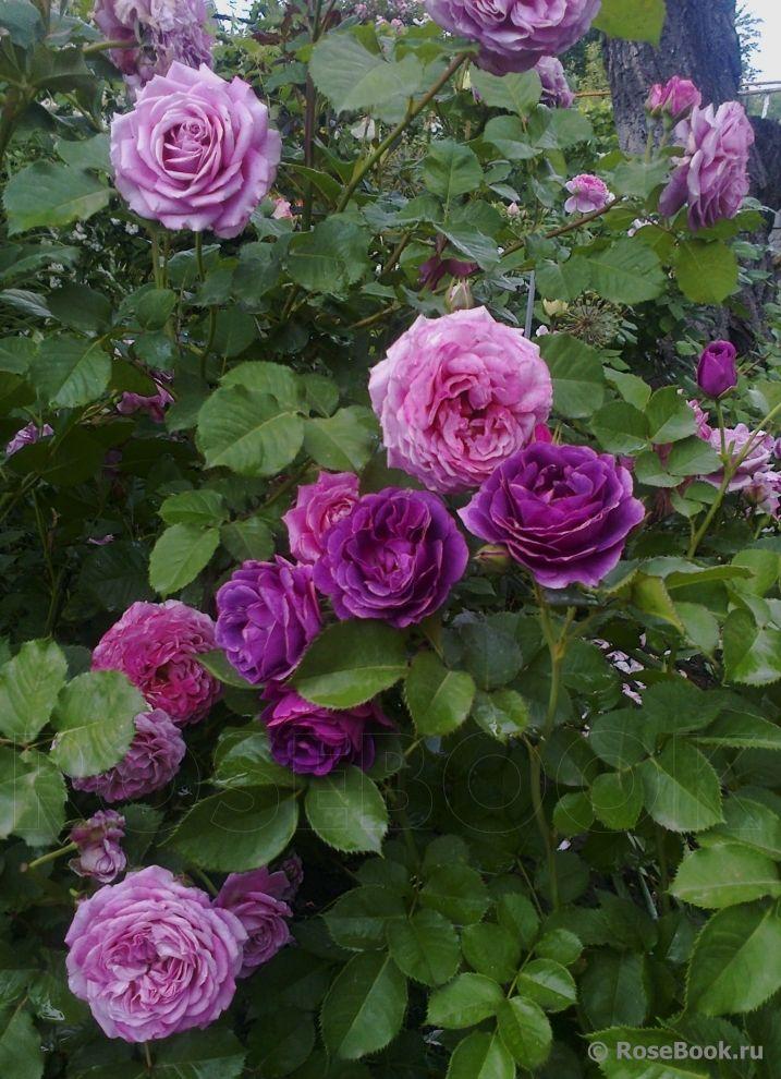pin von cat man du auf the scent of roses pinterest rose pflanzen und g rten. Black Bedroom Furniture Sets. Home Design Ideas