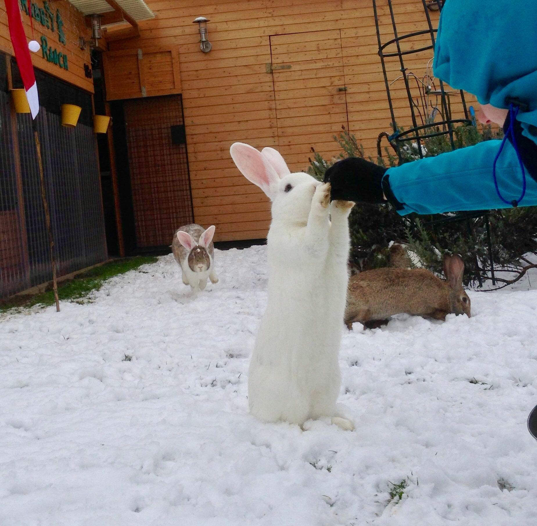 Pin on Flemish Giant Bunnies