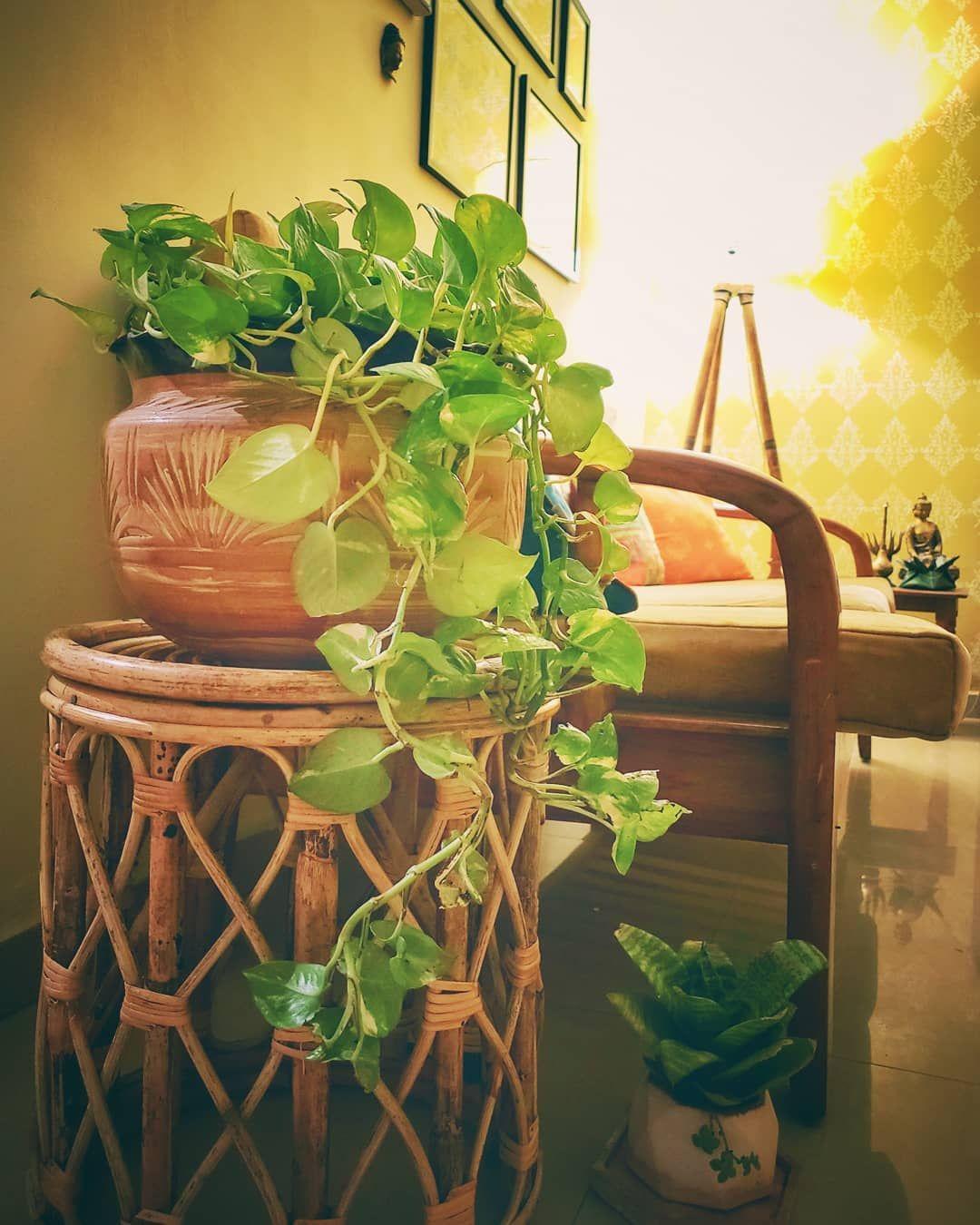 Gardening Pothos Money Plant Indoor Plants Living Room Decor Plants Plant Decor Lucky Bamboo Plants