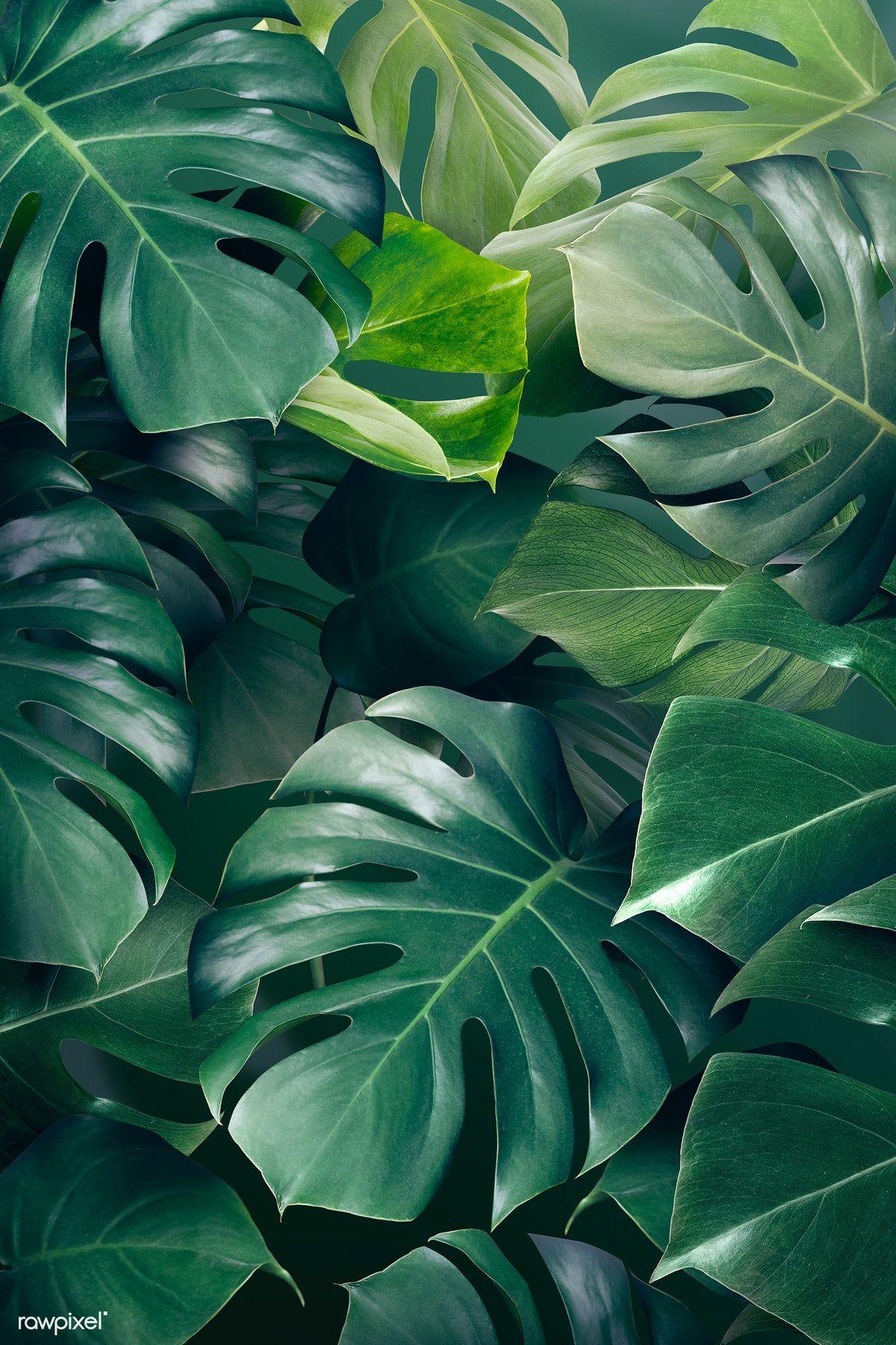 Download premium illustration of Green monstera le