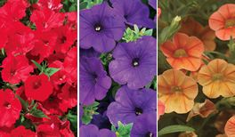 Velvet Crush From Proven Winners Petunia Surfinia Red Petunia