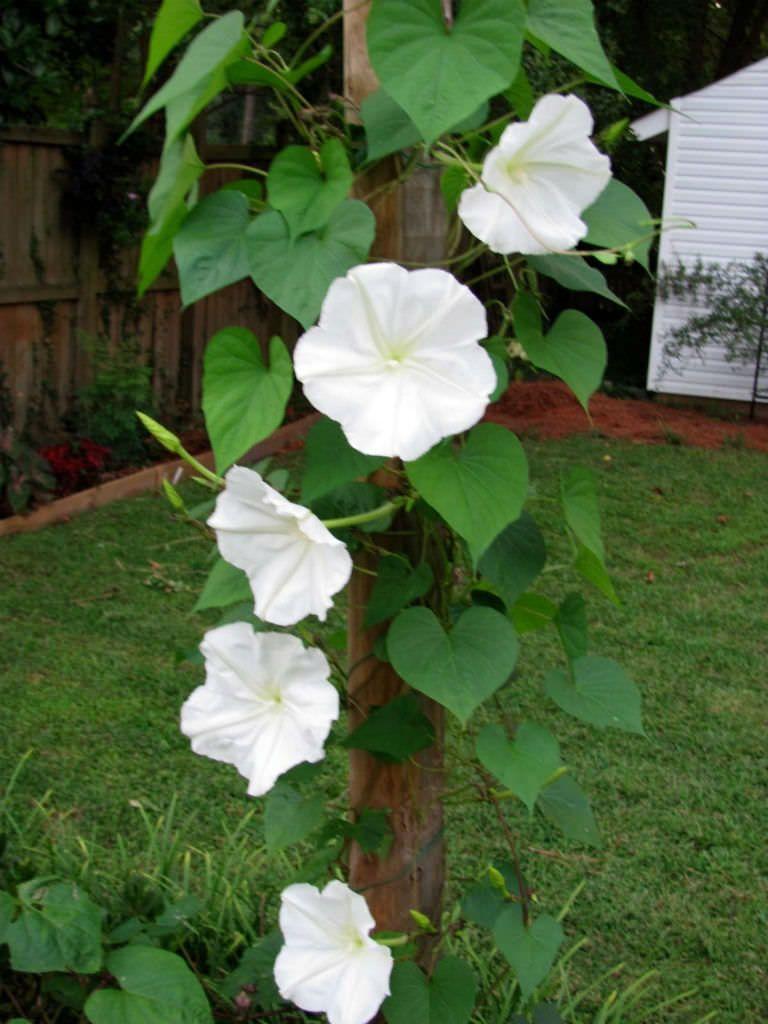 Ipomoea Alba Moonflower Ipomoea Plantopedia Floweringplant Flowers Floweringplants Flower Blooming Flowe Flowering Vines Moonflower Vine Moon Flower